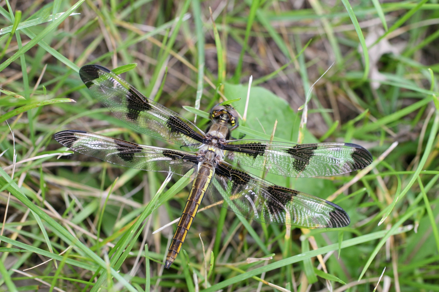 Newly Emerged Twelve-spotted Skimmer