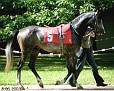 ZAFIR (Zlotoglow x Zorza,  by Pepton) 1999 grey stallion