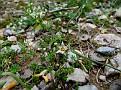 Romulea columnae (7)
