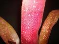 Billbergia 'Watermelon Man' (Lisa Vinzant- 'Pink Champagne' x amoena rubra)