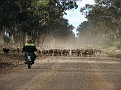 Droving a mob of sheep in the Pilliga 007