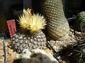 Eriosyce odieri ( Neoporteria odieri )