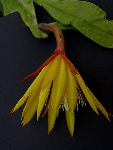 Epiphyllum 'Erika Sohlemann' CG014