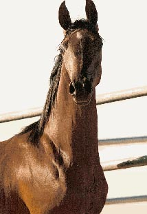 ABSOLUT HEAVEN bay stallion by Blank Czeque