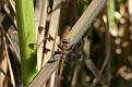 Common Whitetail Dragonfly 7