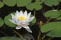 Water Lily #4 2015