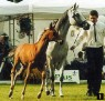 ANTWERPIA (Eternit x Angola, by Palas) 1986 grey mare