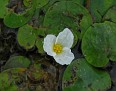 Floating Heart (Nymphoides aquatica)