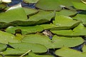 Lily Pad Frogs #4