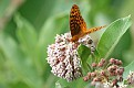 Great Spangled Fritillary #14