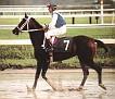 WIKING #318543 (Etap x Wilma, by *Pietuszok) 1979 bay stallion