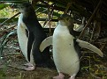 Yellow Eye Penguin Babies - can weigh more then parents