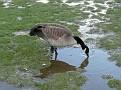 Canada Goose.  sP1010516e