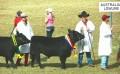 Australian Lowline Cattle 001