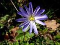 Anemone blanda (15)