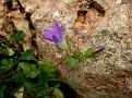 Campanula drabifolia (2)