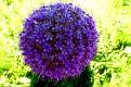Allium giganteum (4)