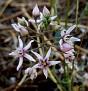 Cynanchum acutum (5)