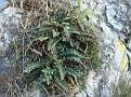 Ceterach officinarum (1)