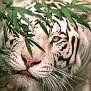 1768316 tiger4