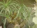 Tylecodon wallichii