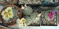 Strombocactus disciformis - Strombocactus disciformis ssp esperanzae