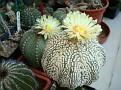Astrophytum Super Kabuto Japanese hybrid
