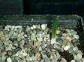 Drimia acarophylla -IB13640 SW of Trefu, SES of Committees Drift