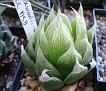 Haworthia lockwoodii wide-leaf -CC1158