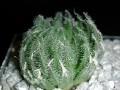 Haworthia arachnoidea var aranea