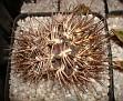 Eriosyce andreaeana - Neochilenia andreaeana