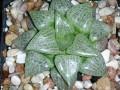 Haworthia emelyae comptoniana -a