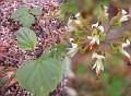 Pelargonium aestivale