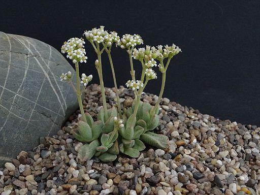 Crassula ausensis