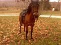MA FANTOM #470426 (Alidad PR x *Fatinaa, by *Carycyn) 1991 bay stallion bred by Nodoroma