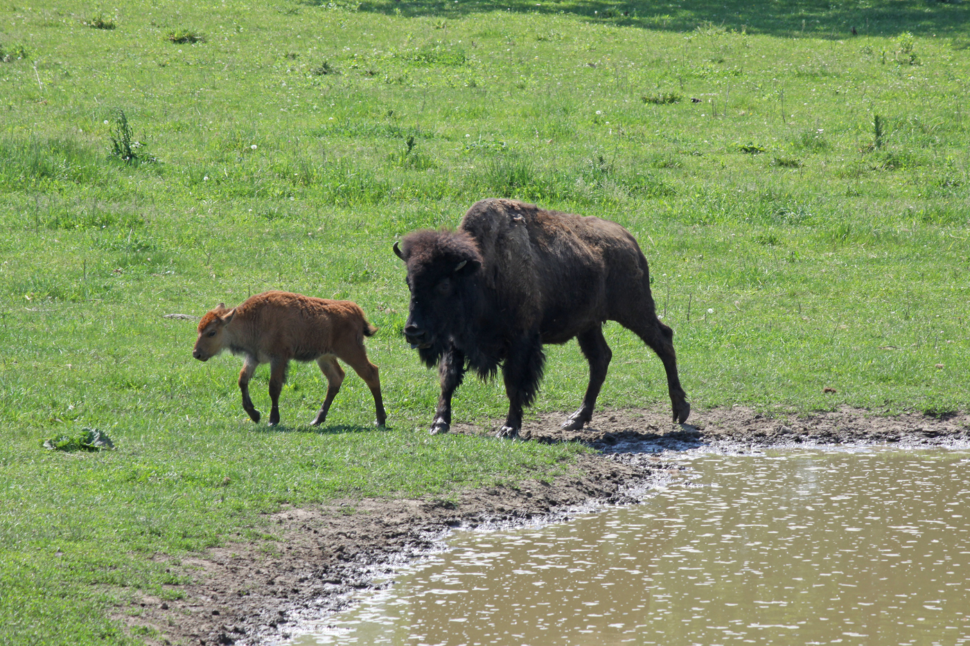 Bison and Calf #21