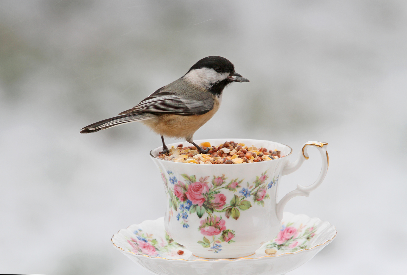 Chickadee at the Teacup #19
