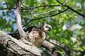 Hawk Chick #19