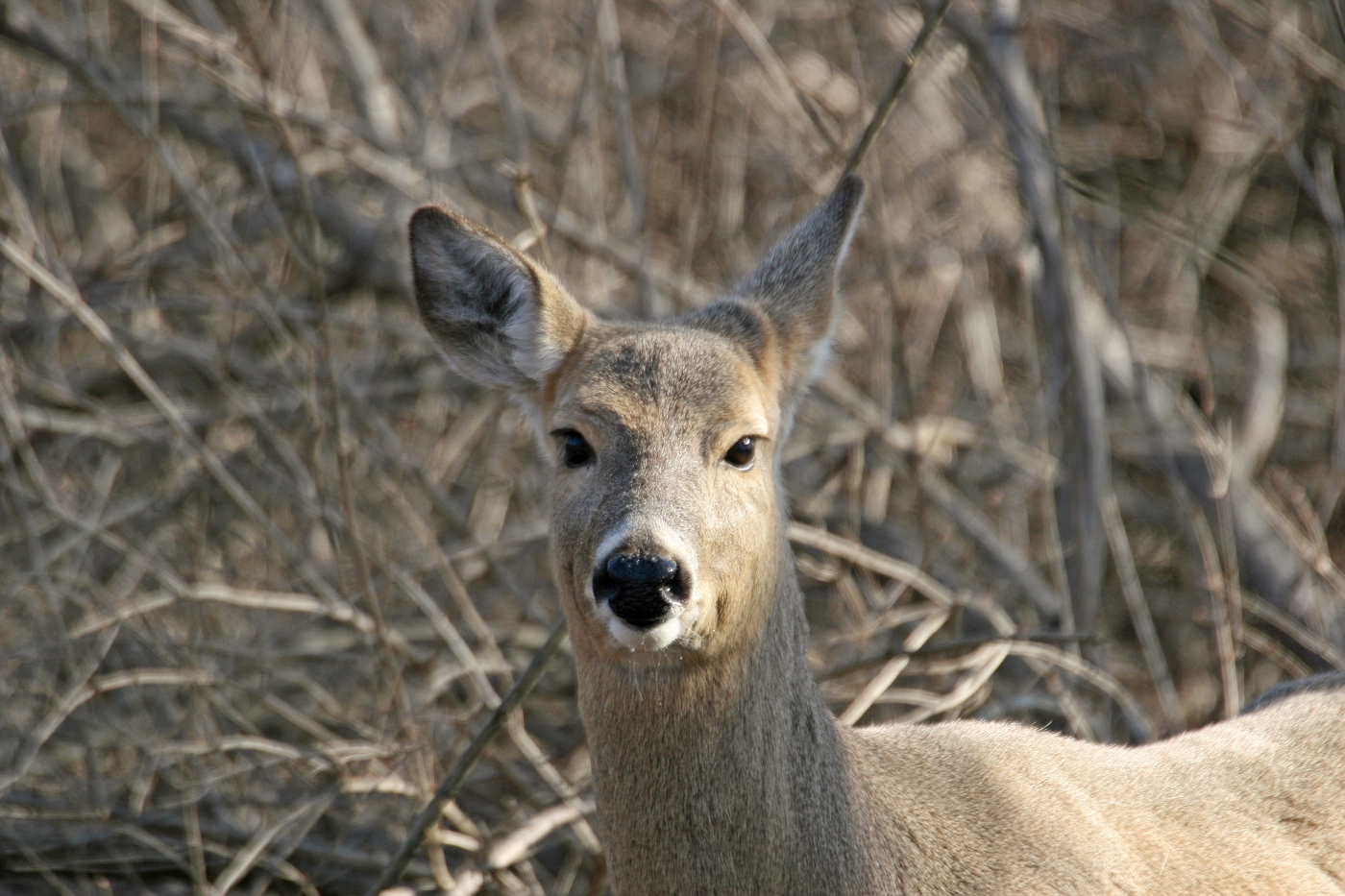 Spring Deer 4