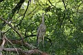 Great Blue Heron in Oak Tree