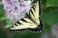 Spread Winged Swallowtail on Lilac