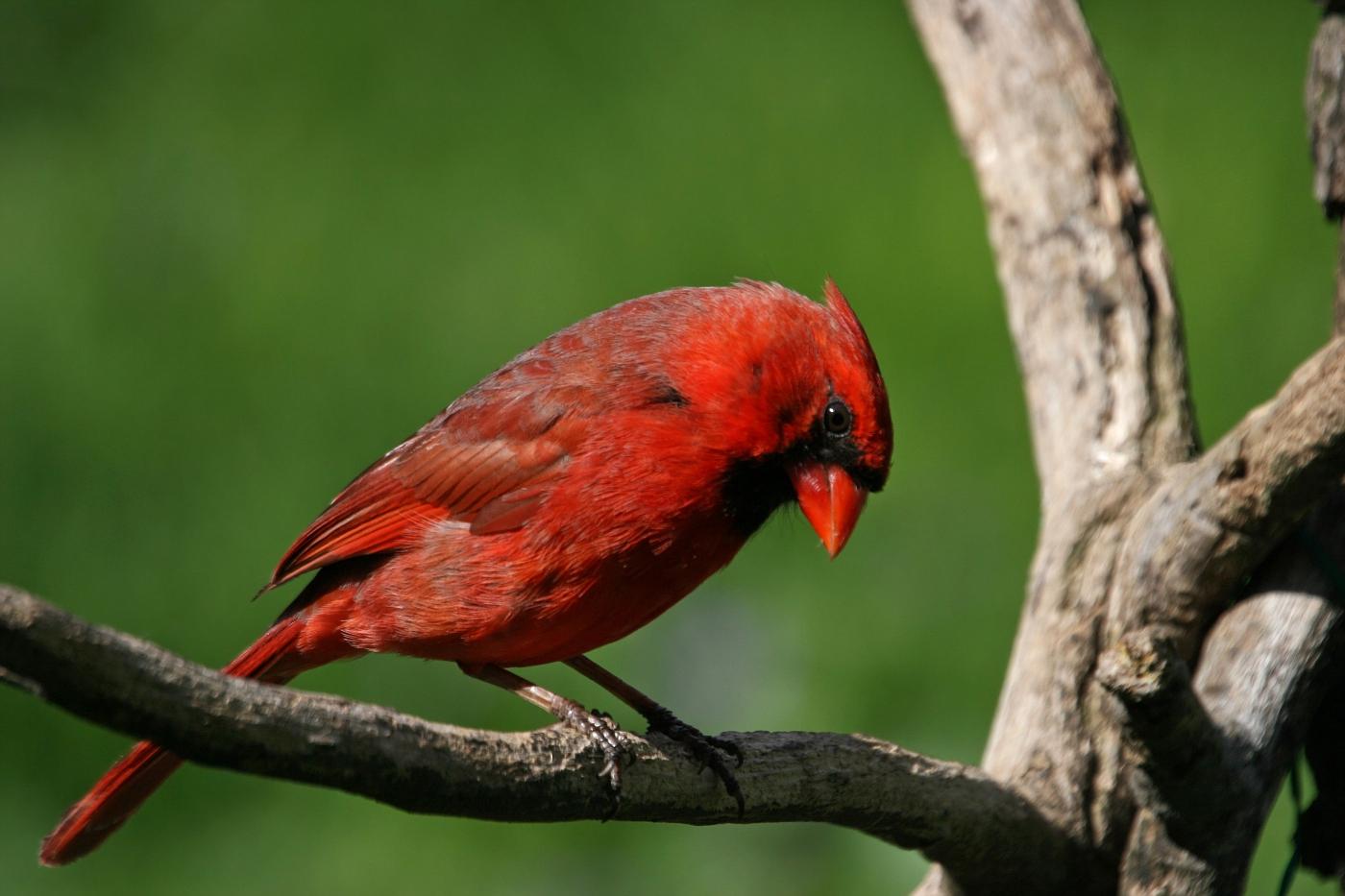 Cardinal #10