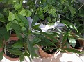 plumeria cuttings