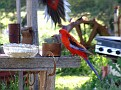 Crimson Rosellas 003