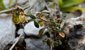 Clypeola jonthlaspi subsp  microcarpa (2)