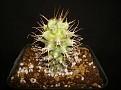 Euphorbia ponderosa