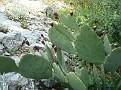 Opuntia sp  (3)