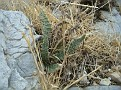 Cheilanthes vellea (3)