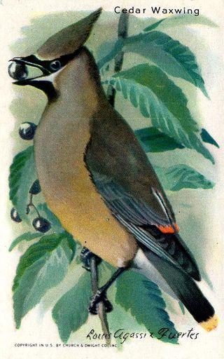 1938 Useful Birds of America Series 10 #15 (1)