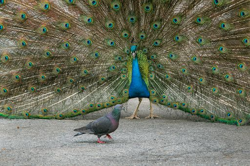 Peacock is hushing away a pigeon